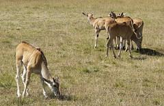 independent (Francisco Sánchez) Tags: park parque nature danger natural independent peligro antelope wanted gazelle santander antilope gacela independiente cabarceno gazzela