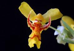 Lockhartia lunifera - 10 (Luiz Filipe Varella) Tags: brazil flores yellow miniature orchids du orchidaceae oncidium orqudeas orchides brsil brasileiras lunifera lockhartia oncidiinae microorqudeas