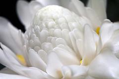 The splendid White Torch Ginger. (Ingrid Douglas) Tags: gingers whiteflowers tropicalflowers australianimages flowermacrophotography perfectoarts tropicalimages whitetorchginger cairnsphotography fleckerhousebotanicalgardens ingridinoz newcanonf28ismacrolens