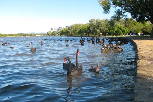Bowen swans