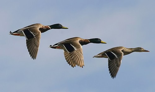 3-ducks-flying-in-format