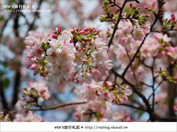 【淡水天元宮櫻花】跟著via賞花趣~天元宮櫻花最新花況14