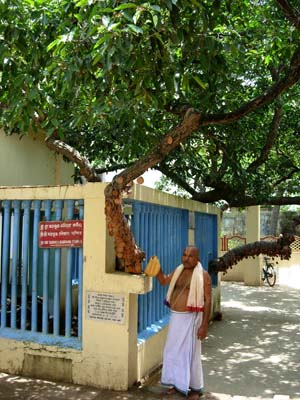 Siddha Bakula – More than five hundred years tree at puri