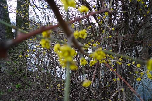 Erste Blüte an der Nidda. März 2010