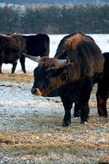 Heck cattle II (dididumm) Tags: schnee winter sunset snow sonnenuntergang bull breed eveninglight stier abendlicht rasse aurochs zucht auerochse heckrind heckcattle heckbull heinzheck lutzheck