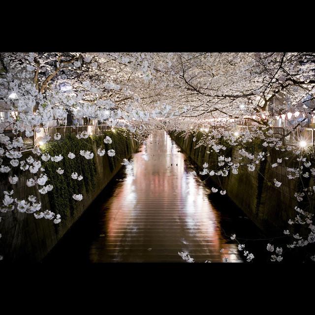 Sakura 2010 #1