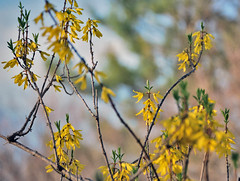 Fast-Blooming Forsythia (Fiddling Bob) Tags: yellow spring blossoms forsythia