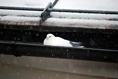 Brrrrrrr (Renzo Ferrante) Tags: winter white snow cold austria kitzbuhel pax pace bianco freddo piccione brrrr 2010 colomba renzoferrante