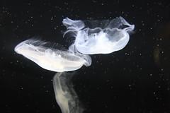 Alien attack (sooc) (jen ) Tags: jellyfish torontozoo swishy alienattack