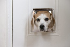 This is NOT a dogflap?! (mark.abrams81) Tags: beagle pet cute catflap