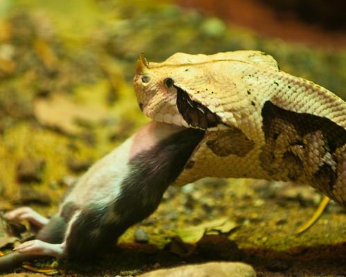 Best Snake Eat Mouse, Snake Eat Mouse, Snake Eating Animal