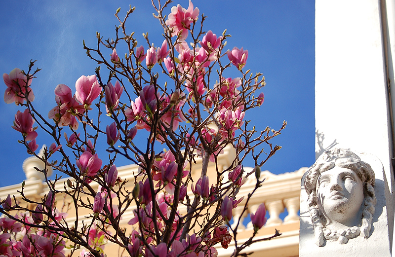 _magnolia_