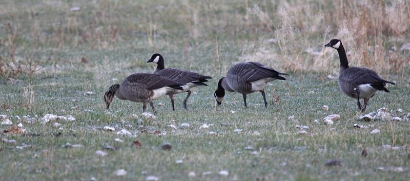 Geese (by KansasA)