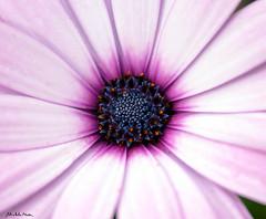 Dimorfoteca (Michela Medda) Tags: sardegna pink flowers flower macro nature natura fiori fiore lilla serramanna mediocampidano dimorfoteca canoneos450ditalia