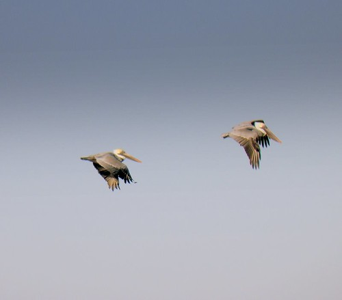 Pelicans racing for position