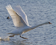 Swan run (Andrew Haynes Wildlife Images) Tags: bird nature swan wings wildlife run brandonmarsh canon7d ajh2008