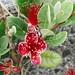 feijoa flowers