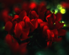 Feliz Navidad (Jose Luis Mieza Photography) Tags: flowers flores flower fleur fleurs flor fflower benquerencia florews reinante jlmieza thesuperbmasterpiece reinanteelpintordefuego joseluismieza