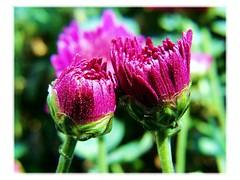 U and I (THRU THE LENSES (Ishandeb)) Tags: flower macro up close