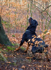 IT'S THERE, I KNOW IT IS....!!!! (Janet Stansfield) Tags: winter dog max concentration search woods walk teeth olympus plantation stare hunter determined find rottweiller hunt rotty upatree grovelane padiham daftdog chasingsquirrels e520 olympuse520 grovelanewoods