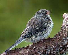 Young Junco (Clyde Barrett) Tags: newfoundland junco young nl juvenile nfld darkeyedjunco juncohyemalis clydebarrett birdperfect