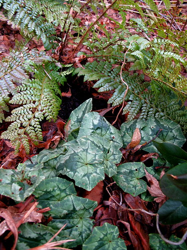 cyclamen and Polystichum x dycei