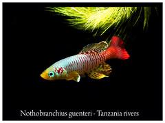 Nothobranchius guentheri (Bruno Cortada) Tags: malawi marino mbunas cclidos sudafricanos tanganyica
