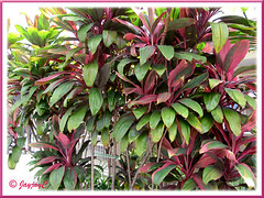 Clumps of Cordyline terminalis/C. fruticosa or Ti Plant, Hawaiian Ti (pink/maroon/green)