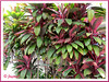 Cordyline terminalis / syn.: C. fruticosa (Hawaiian Ti, Ti Plant, Good Luck Plant/Tree)
