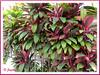 Cordyline terminalis / syn.: C. fruticosa (Hawaiian Ti, Ti Plant, Good Luck Plant/Tree)