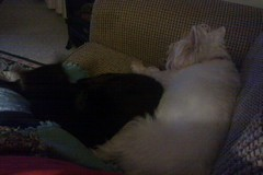 Prince (Westie) & Windsor (Cat) (darbear.) Tags: dog cat sleeeping