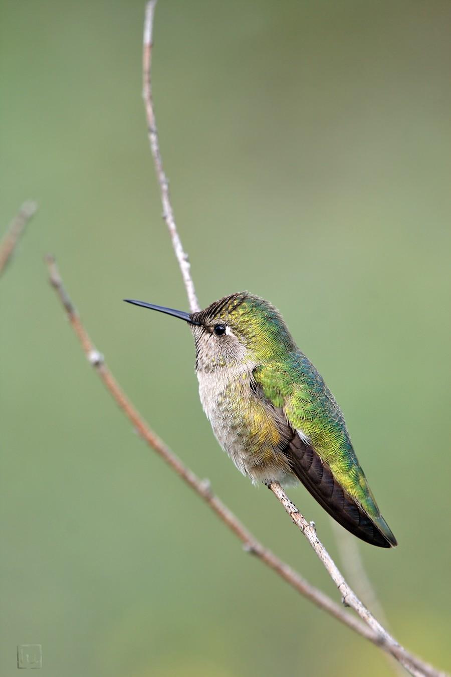 Anna's Hummingbird 02101-3
