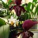Phalaenopsis Mini Mark 'Holm' vs. Paphiopedilum Vinicolor