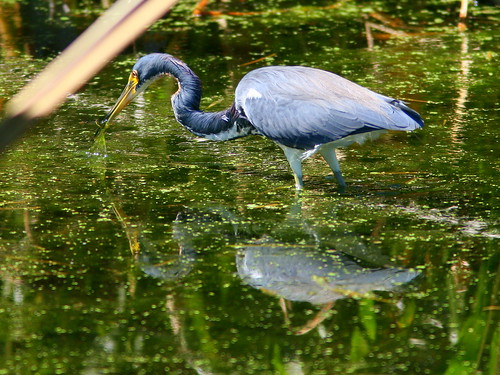 Tricolored Heron 2-20100228