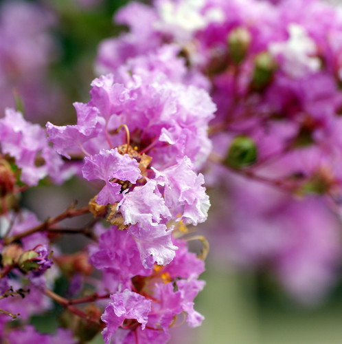 Beautiful pink crape myrtle