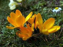SPRING (Rick & Bart) Tags: flower nature yellow spring flora natuur crocus lente geel printemps krokus bloem smrgsbord botg rickbart rickvink