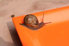 Spiral (SarabellaE / Sara / Love in the Suburbs) Tags: orange snail earlyspring february2010