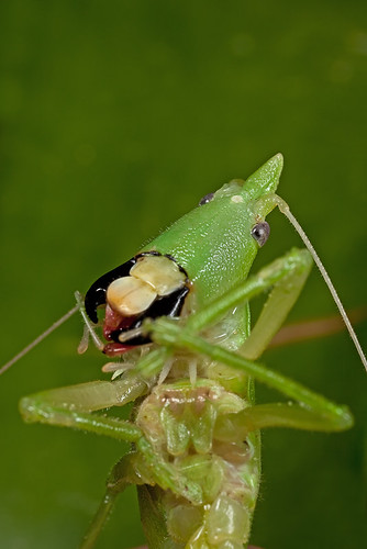 Katydid - Tue/Wed face