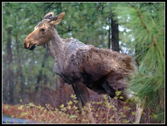 baby moose (Carplips) Tags: baby brown shed moose curious alcesalces