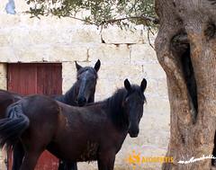 Cavalli / horses (marchetti.mr) Tags: cavalli salento fattoria maneggio equitazione mariarosaria salogentis