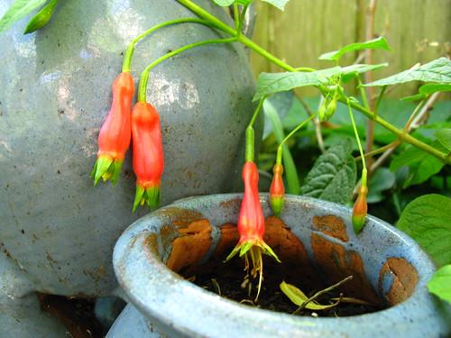 Fuchsia splendens