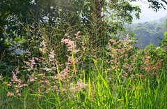 autumn grass (YAZMDG (15,000 images)) Tags: flowers trees plants tree green nature forest weeds flora australia nsw grasses gras molassesgrass goonengerry nswrfp yazminamicheledegaye northernriversspecies