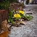 sidewalk flowers II