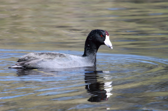 032610_coot