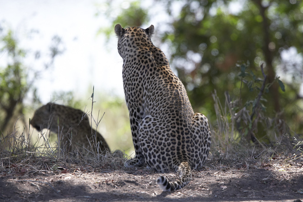 A Leopard in the Singita Sabi Sand