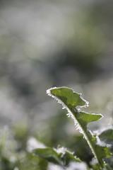 Löwenzahnblatt (Vogelbetrachter) Tags: hybridis