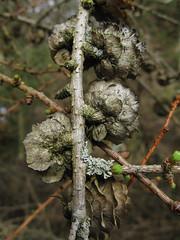larch 1 (ewjz31) Tags: spring lichen larch cones