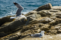 Gavines a Palams / Gulls in Palams (SBA73) Tags: sea mer seagulls nature animal animals stone mar couple rocks seagull gull gulls natura gaviotas gaviota rocas roques palams gavina empord yellowleggedgull larusmichahellis gavines baixempord mywinners mygearandme