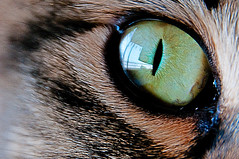 el oculista de Juno (didecus.) Tags: pet eye animal cat canon sushi ojo kitten kat chat gorgeous adorable kitty gato neko katze  gatto kot juno koka   katt kissa maka      pisic  bestofcats kittyschoice
