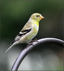 goldfinch americangoldfinch